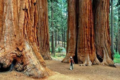 Самые большие и интересные деревья